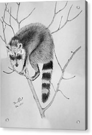 Raccoon Treed  Acrylic Print by Daniel Shuford