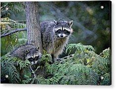 Raccoons In Stanley Park Acrylic Print