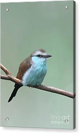 Racket-tailed Roller V2 Acrylic Print