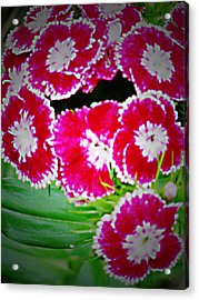 Acrylic Print featuring the photograph Radiant Red  by Debra     Vatalaro