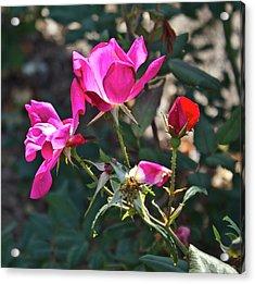Radiant Rose Acrylic Print by Jennifer Carrico