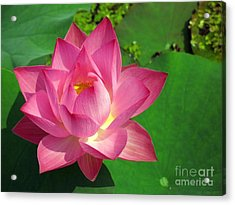 Radiant Water Lily Acrylic Print