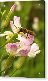 Radish Flower And The Fly Acrylic Print by Steve Augustin