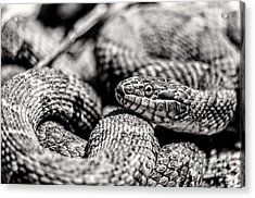 Radnor Lake Northern Water Snake Black And White Acrylic Print by Photo Captures by Jeffery