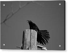 Raging Crow Acrylic Print