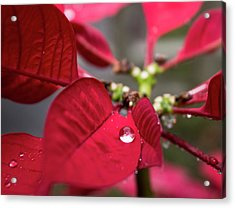 Rain Drop On A Poinsettia  Acrylic Print