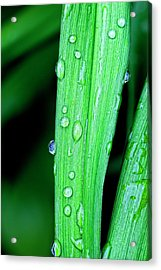 Rain Drops 26 Leaves Acrylic Print