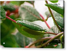Rain Drops On A Leaf Acrylic Print
