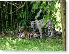Rain Forest Tigers Acrylic Print