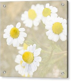Rain-kissed Chamomile Acrylic Print by Cindy Garber Iverson