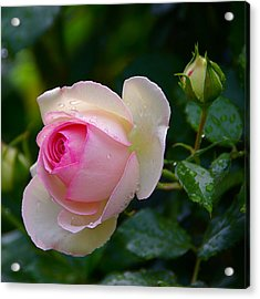 Acrylic Print featuring the photograph Rain-kissed Rose by Byron Varvarigos