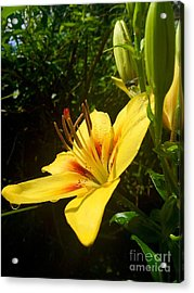 Rain Kissed Tiger Lily Acrylic Print