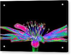 Rainbow Chicory Acrylic Print
