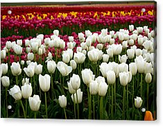 Rainbow Of Tulips Acrylic Print by Sonja Anderson