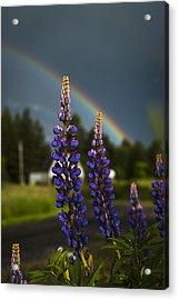 Rainbow Over Lupine  Acrylic Print
