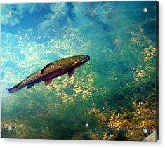 Rainbow Trout Acrylic Print by Marty Koch