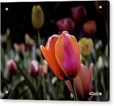 Acrylic Print featuring the photograph Rainbow Tulip by William Havle