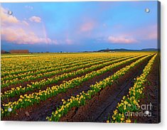 Acrylic Print featuring the photograph Rainbows, Daffodils And Sunset by Mike Dawson