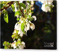 Raindrops On Crab Apple Blossoms Acrylic Print by Christine S Zipps
