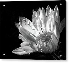Raindrops On Daisy Black And White Acrylic Print