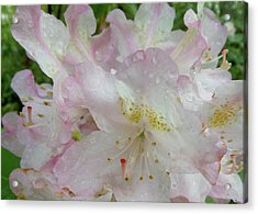 Raindrops On Rhododendron Acrylic Print