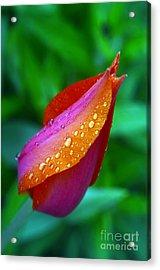 Raindrops On Tulip Acrylic Print