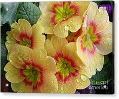 Raindrops On Yellow Flowers Acrylic Print by Carol Groenen