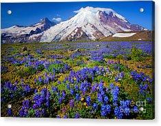 Rainier Lupines Acrylic Print