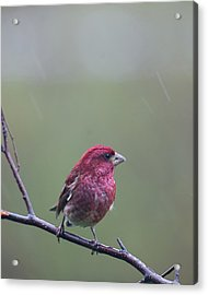 Acrylic Print featuring the photograph Rainy Day Finch by Susan Capuano