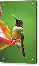 Rainy Day Hummingbird Acrylic Print by Christina Rollo