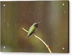 Rainy Day Hummingbird Acrylic Print