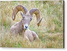 Ram In Field Acrylic Print