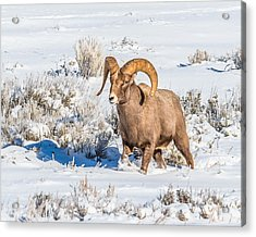 Acrylic Print featuring the photograph Ram In Rut by Yeates Photography