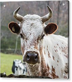 Acrylic Print featuring the photograph Randall Cow by Bill Wakeley