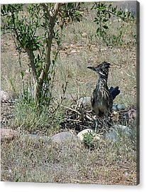 Randy Roadrunner Acrylic Print by Fred Wilson