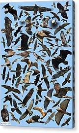 Raptor Roundup Acrylic Print by ML Lombard
