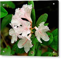 Acrylic Print featuring the photograph Rare Florida Beauty - Chapmans Rhododendron by Barbara Bowen