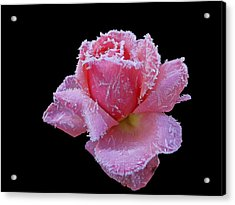 Rare Winter Rose Acrylic Print