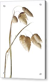 Rattlesnake Grass Number 1 Acrylic Print