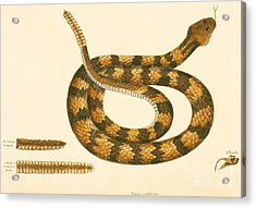 Rattlesnake Acrylic Print by Mark Catesby
