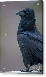 Raven In Snow Acrylic Print by Tim Grams