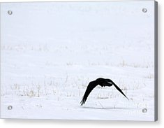 Raven In The Snow Acrylic Print
