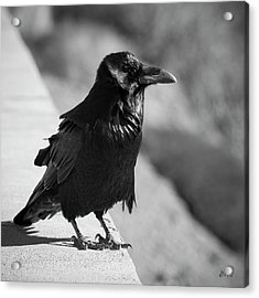 Raven Iv Bw Acrylic Print by David Gordon