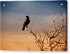 Raven On Sunlit Tree Branches, Grand Canyon Acrylic Print
