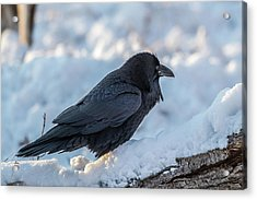 Acrylic Print featuring the photograph Raven by Paul Freidlund