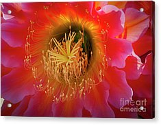 Ready For Beezness Acrylic Print