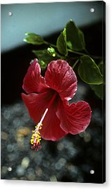 Ready For Picking Acrylic Print