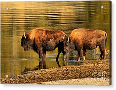 Acrylic Print featuring the photograph Ready To Cross The Yellowstone by Adam Jewell