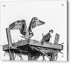 Ready To Fly Bw Acrylic Print