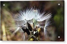 Ready To Fly... Salsify Seeds Acrylic Print